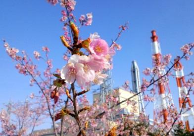 勿来発電所の「河津桜」が満開です