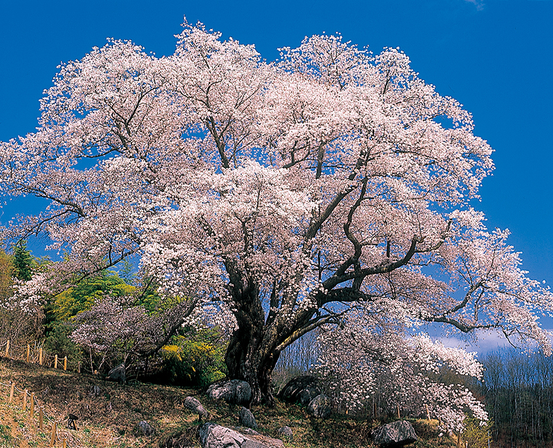 古殿町の越代の桜が見頃です